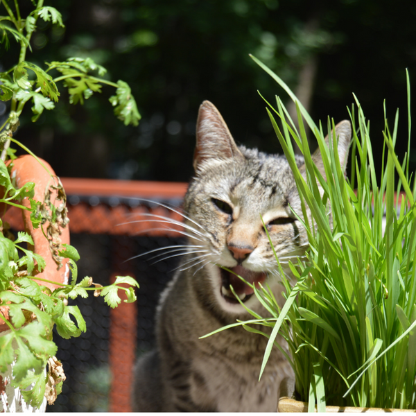 tabby cat eating grass