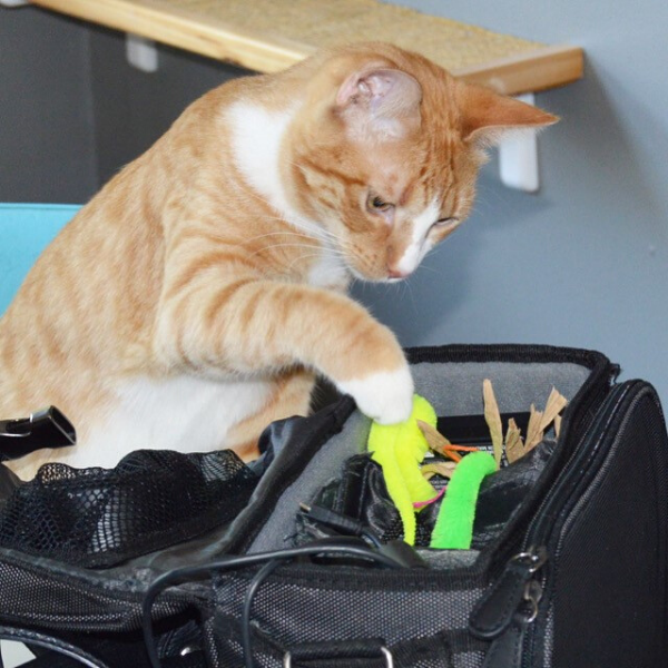 orange tabby cat looking inside a camera bag and swatting at the toys inside