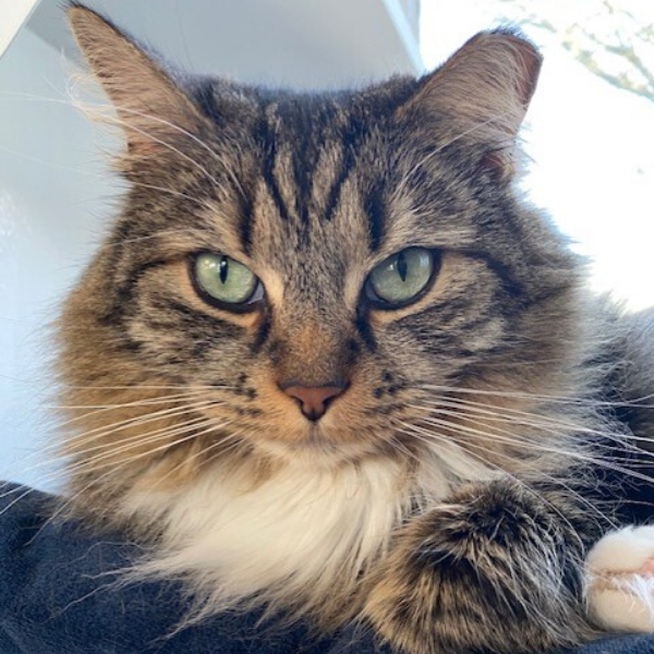 long haired tabby cat with notched ear looking regally straight at camera