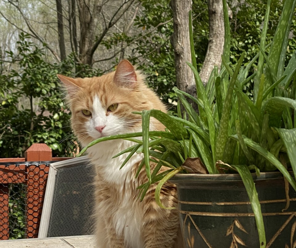 long haired orange tabby cat outside on a table next to a pot of aloe