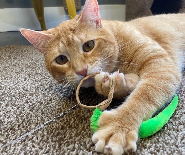 orange tabby cat looking at camera while holding onto an a-lure-ring cat toy