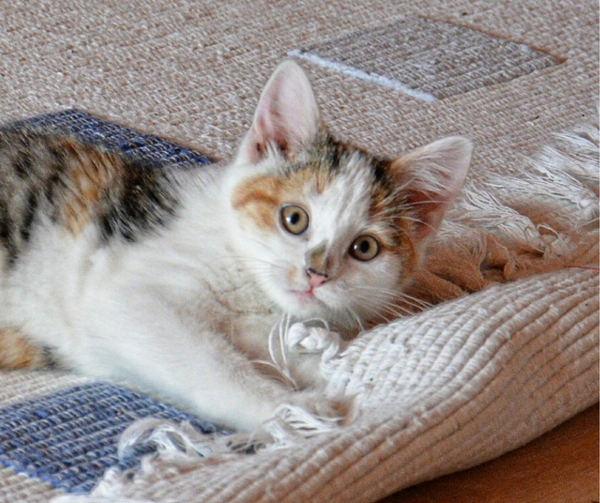 calico kitten looking straight up at camera while lying on a rug