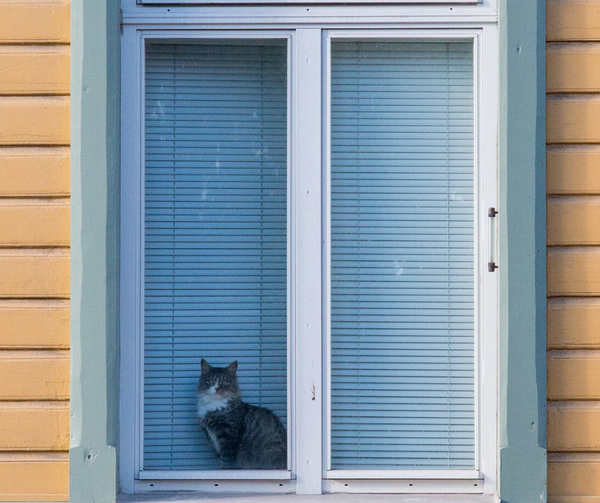 tabby cat with white chest looking out of a window
