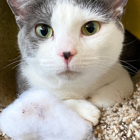 Gray and white cat staring at camera with a Cloud Nine plush cat toy
