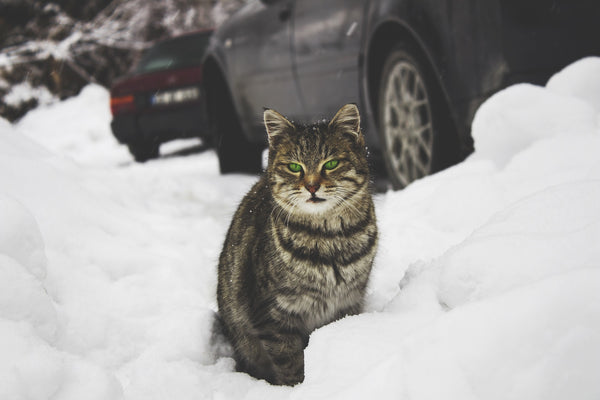 cat sitting on a snow drift with tire of car in the background behind it