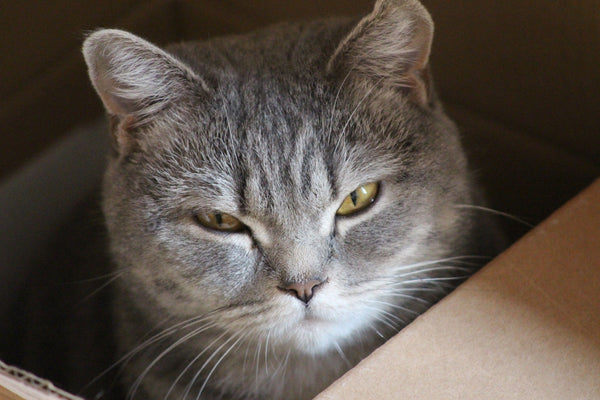 tabby cat sitting in box looking up at camera