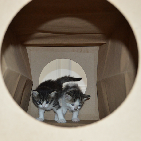 two little kittens inside the Hide and Sneak paper cat toy tunnel