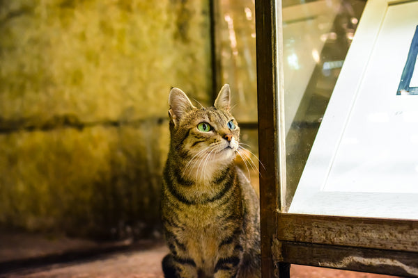 tabby cat next to glass cabinet looking at artwork inside of it