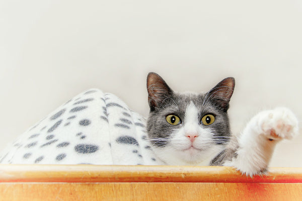 grey and white cat with pink nose on top of a cabinet with one paw extending toward camera
