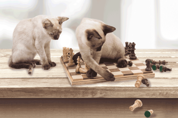 two siamese cats knocking chess pieces off of table