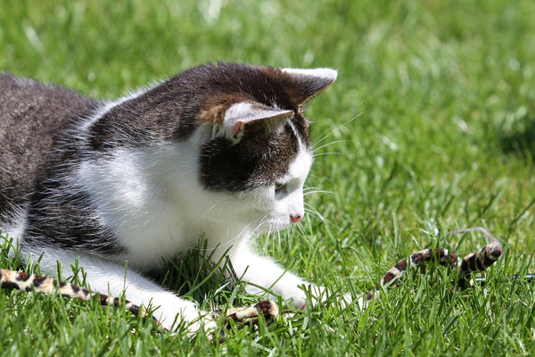 cat in grass looking at a snake