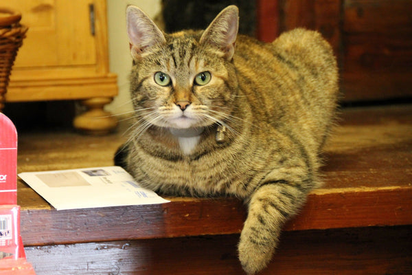 tabby cat on table looking at camera with one paw hanging over the edge