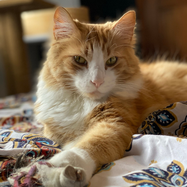 long hair orange tabby cat on bed staring at camera with front paw extended