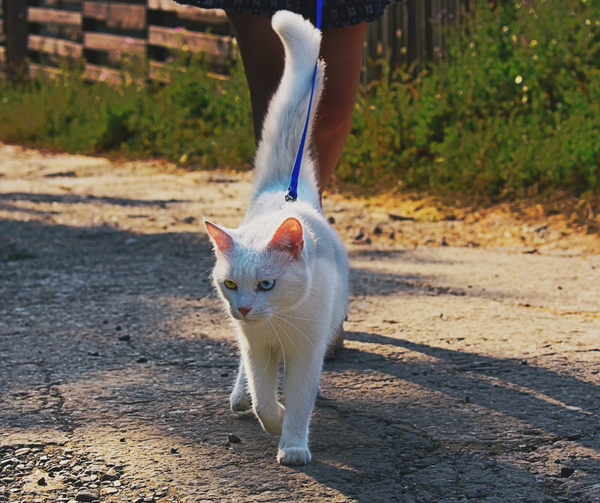 white cat outside being walked on a leash