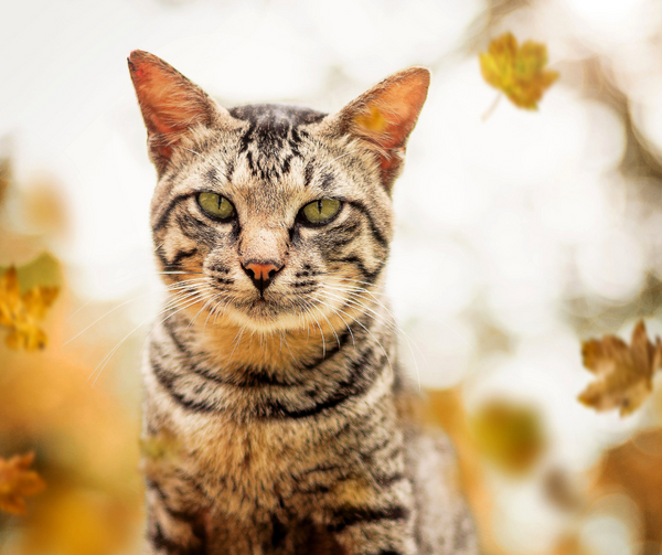 adorable tabby cat looking straight at camera