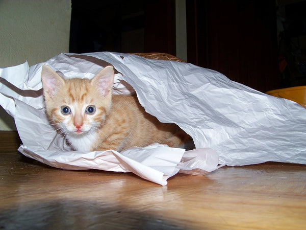 orange tabby kitten inside a crumpled bag looking at camera