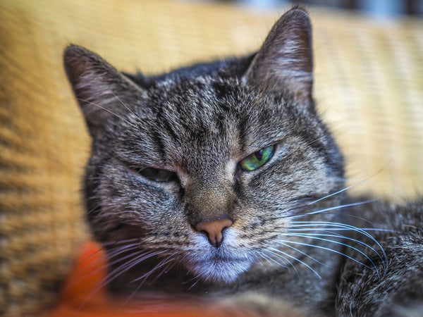 tabby cat with eyes half closed looking at the camera
