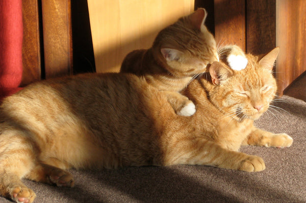 two orange tabby cats grooming each other