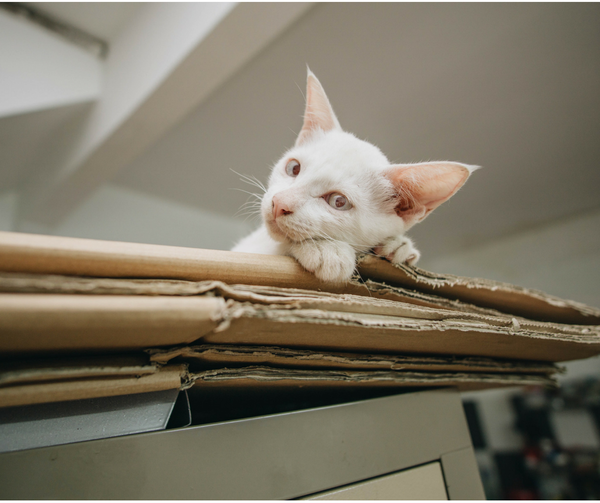 white cat stretched out on top of a pile of flat boxes looking straight at camera