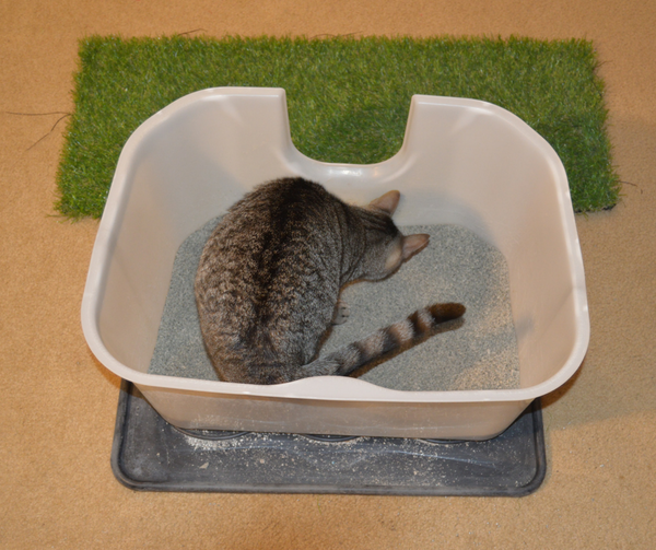 looking down on tabby cat in litterbox