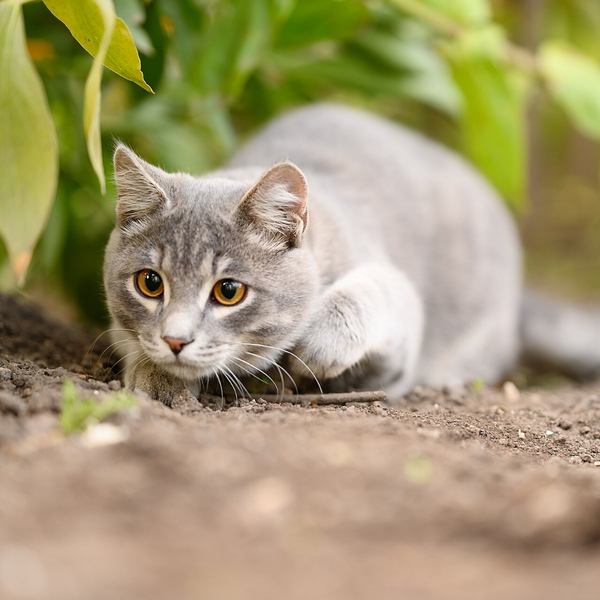cat crouched on ground stalking something