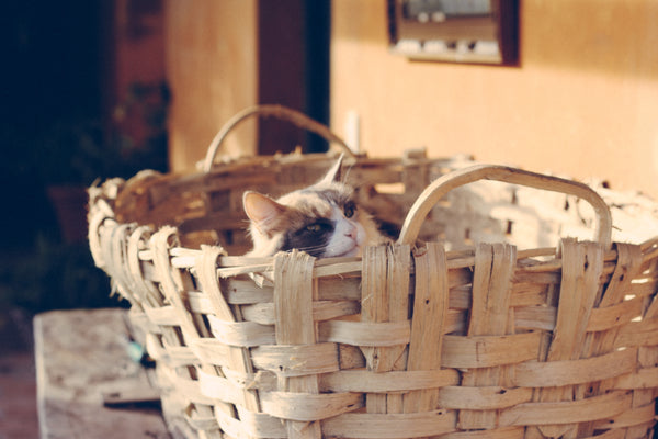 cat in large wicker basket peeking over the top