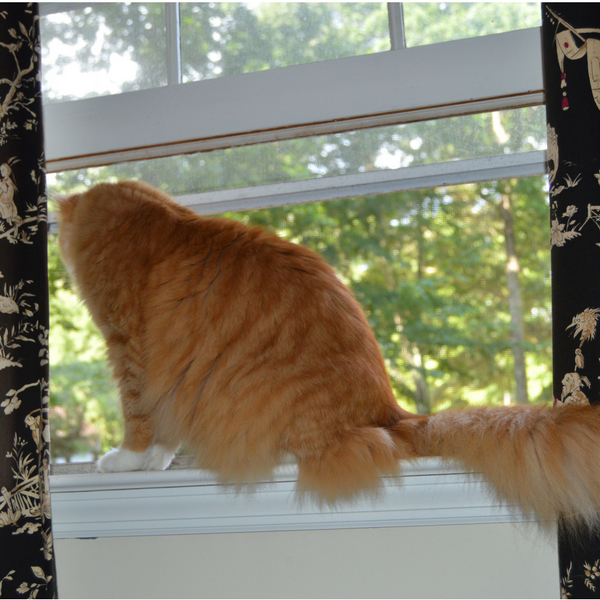 ginger tabby cat standing on windowsill looking outside