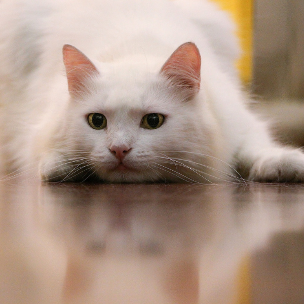 white cat crouched on the floor looking intensely at something in the distance
