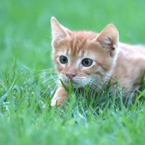 ginger tabby cat in the grass in a stalking pose
