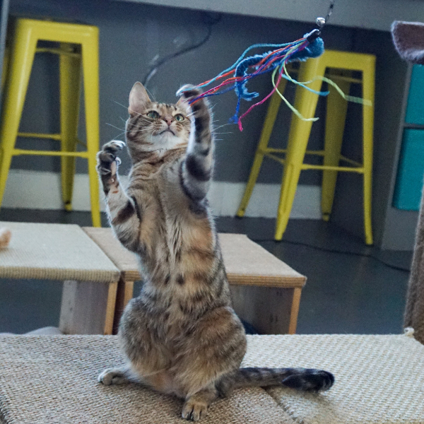 tabby cat on hindquarters reaching for squid cat toy