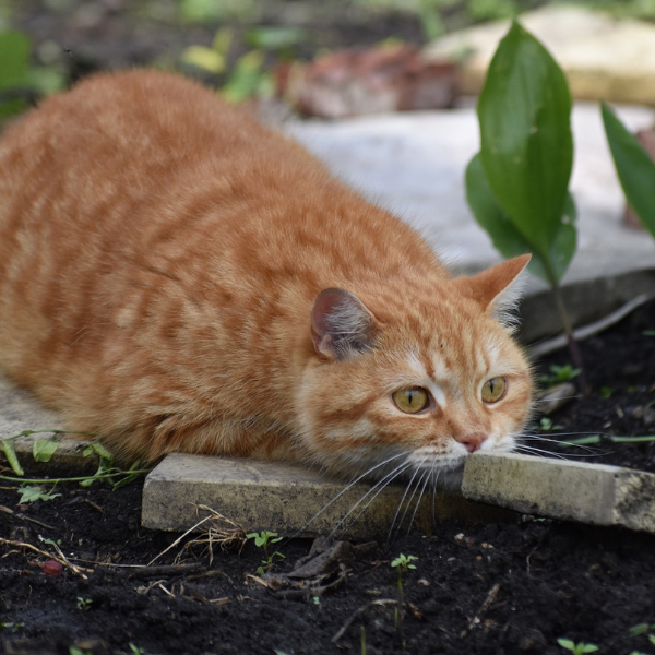 orange tabby cat crouched on a brick focusing on something in the distance