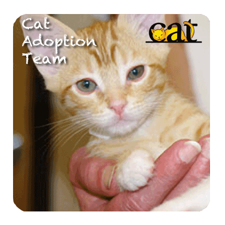 Orange and white kitten looking at camera for Cat Adoption Team logo and ad