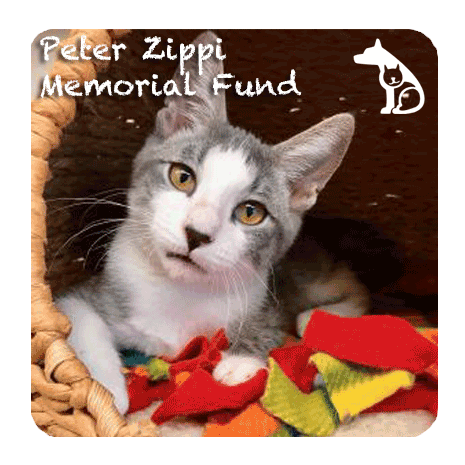grey and white cat looking at camera for Peter Zippi Memorial Fund logo and ad