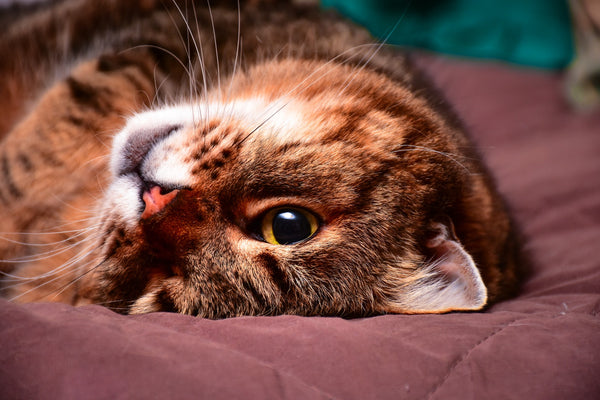 tabby cat lying upside down on bed looking at camera