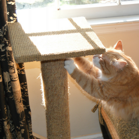 Orange tabby cat scratching on a sisal scratch post