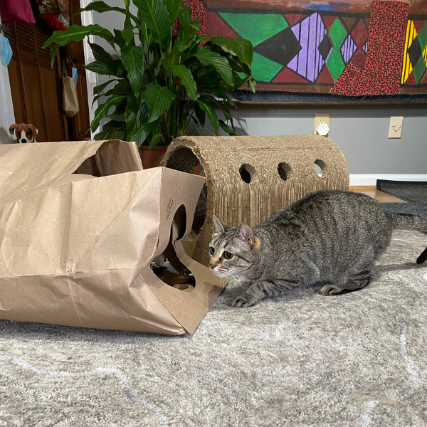 tabby cat ready to pounce crouched next to a Hide and Sneak cat tunnel toy