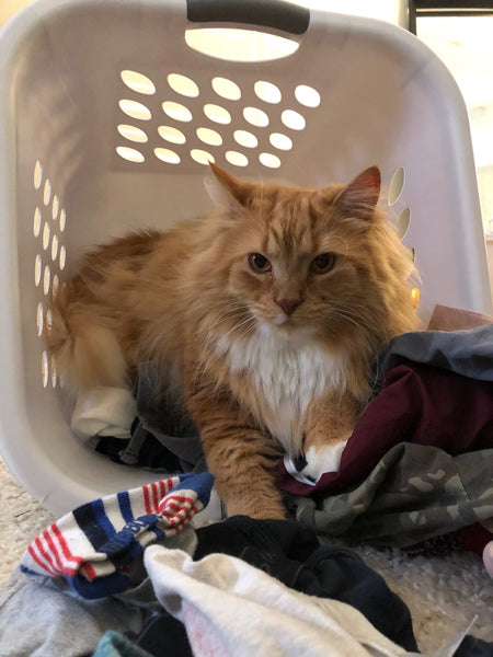 long haired orange tabby cat looking at camera from inside a laundry basket