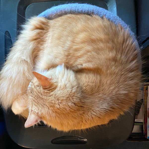 long hair orange tabby cat curled up in a circular cat bed
