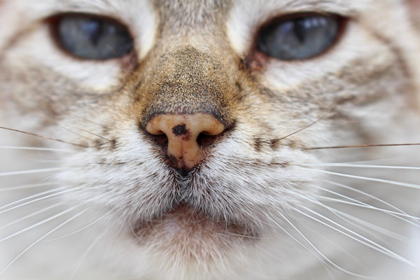 close up of a cat with the focus on its nose