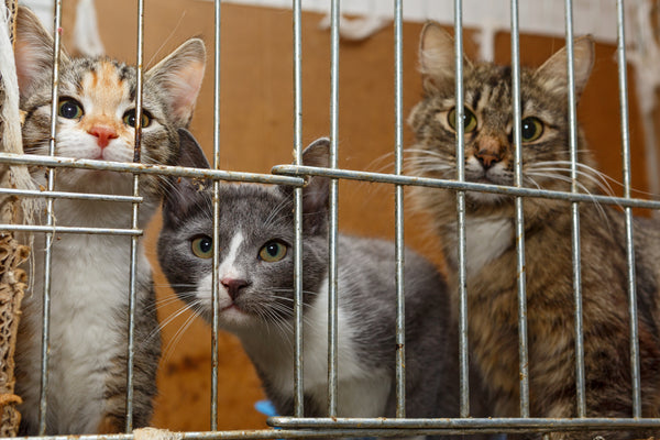 three kittens looking out of cage bars straight at camera