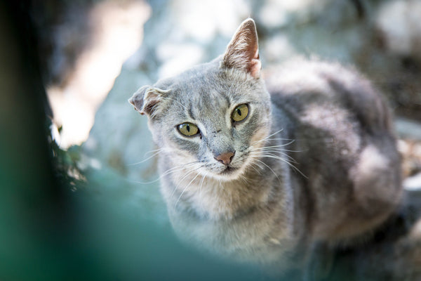light grey tabby cat with crinkled ear outside looking at camera