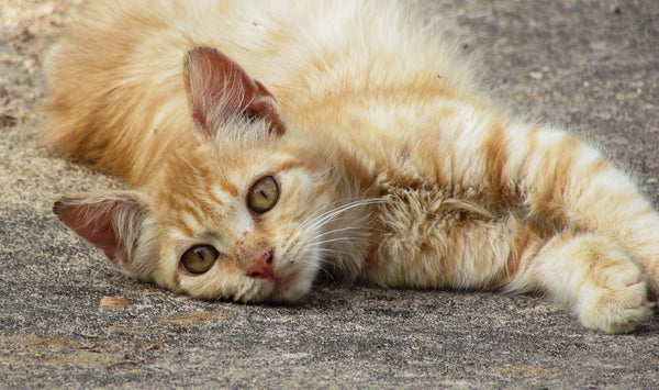orange tabby cat stretched out on pavement