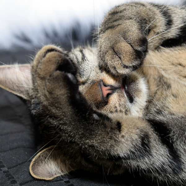 tabby kitten lying on back with front paws covering eyes