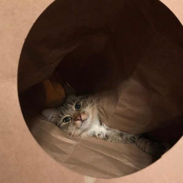 cat lying in a paper Hide and Sneak cat tunnel toy