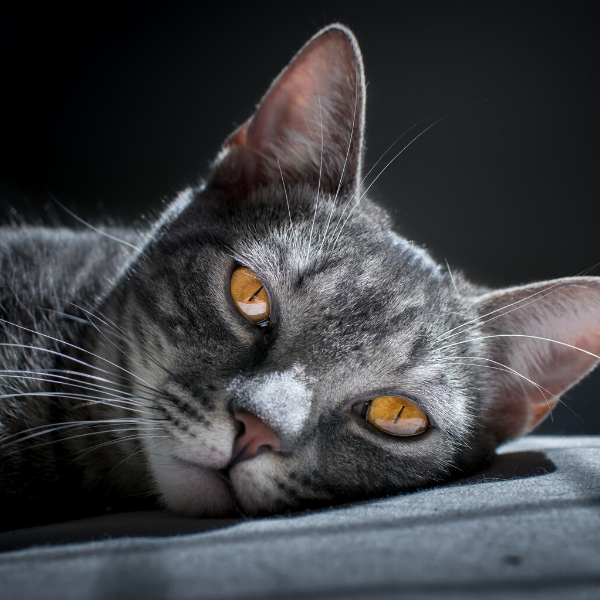 grey tabby cat looking directly into camera
