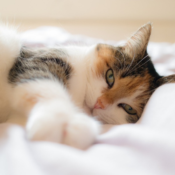 close up of a calico cat lying on the bed and reaching out to the camera with it's front paw