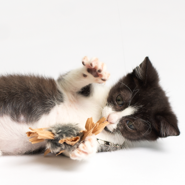 black and white kitten laying on its side with front paws extended to catch a buzzer cat toy wand attachment