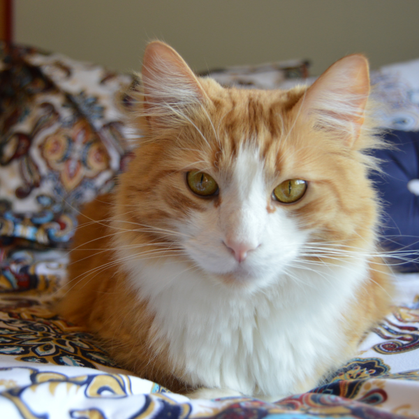 fluffy, long haired orange and white tabby cat looking straight at camera