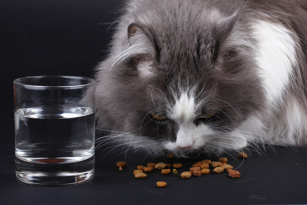grey and white cat sitting next to a glass of water eating kibbles of dry food