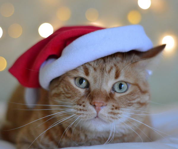 orange cat wearing a santa hat looking at camera with twinkling lights in the background